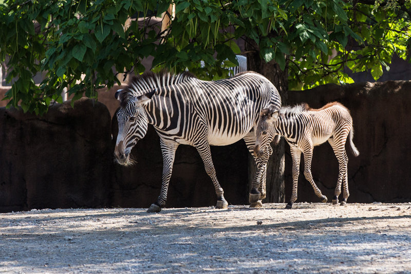 Grevys Zebra and Foal at Saint Louis Zoo