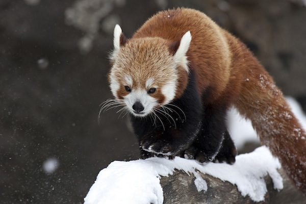 red panda in the snow at a zoo