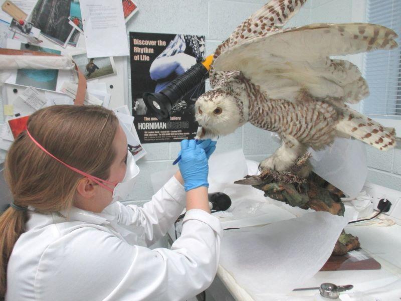woman preserving stuffed owl at Horniman Museum