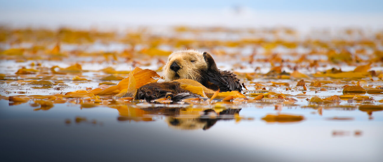 sea otter on surface in kelp bed