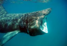 basking shark the shark trust