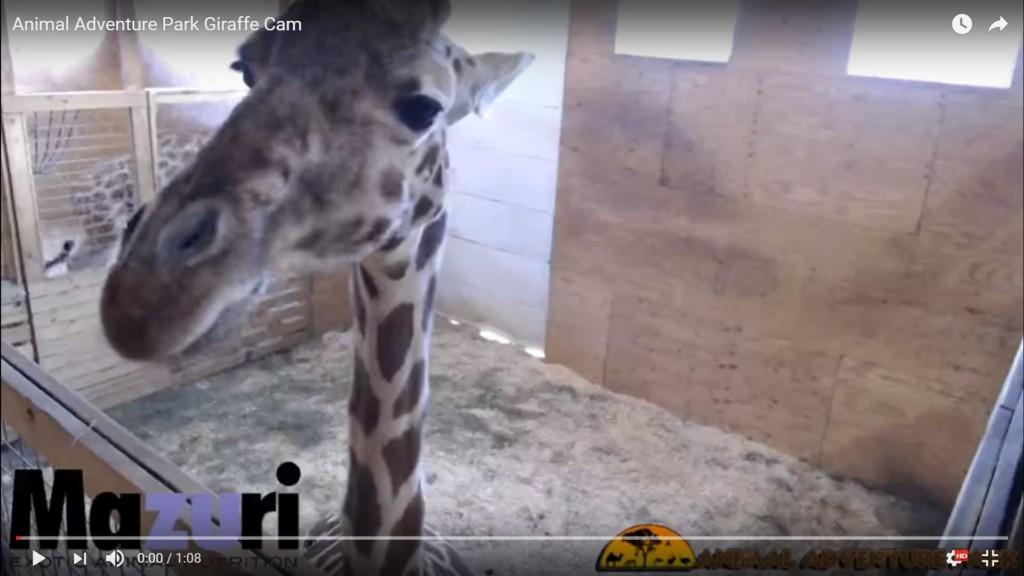 april the giraffe animal adventure park