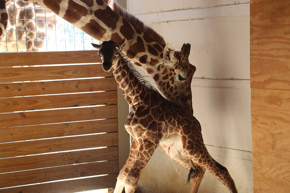 April the giraffe baby animal adventure