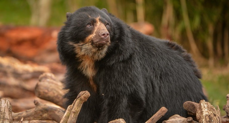 Chester Zoo WildCRU andean bear