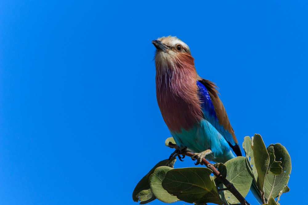 lilac breasted roller against blue sky