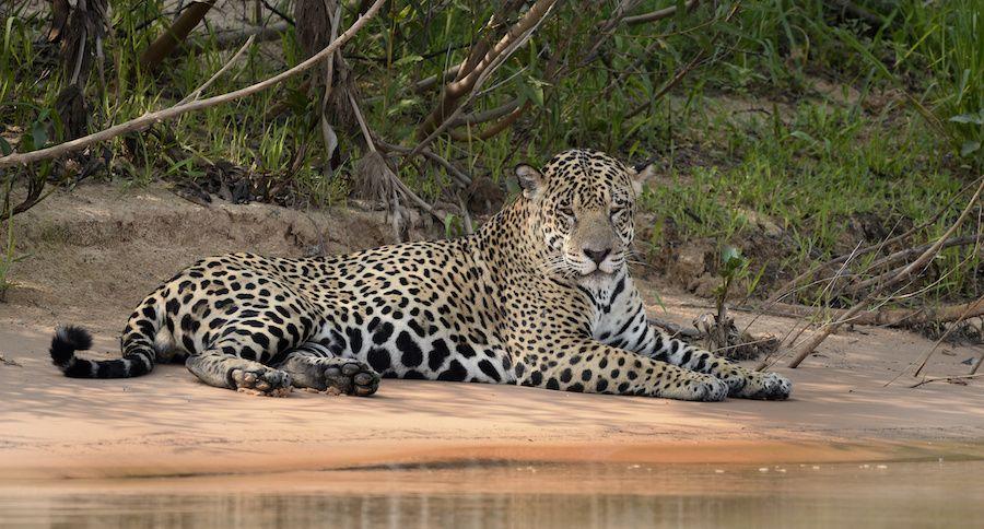 male jaguar on a riverbank