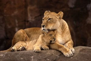 african lion mother with cub zoo design conference