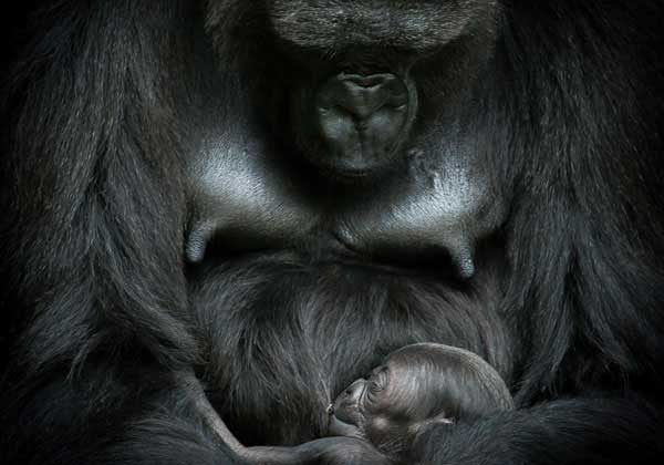jacksonville zoo african forest gorilla mother and