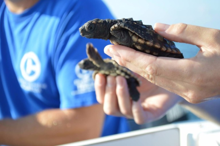 Turtle rescue at Clearwater Marine Aquarium in Pinellas County.