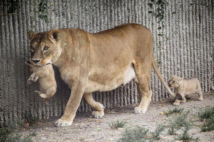 Lion at Copenhagen Zoo