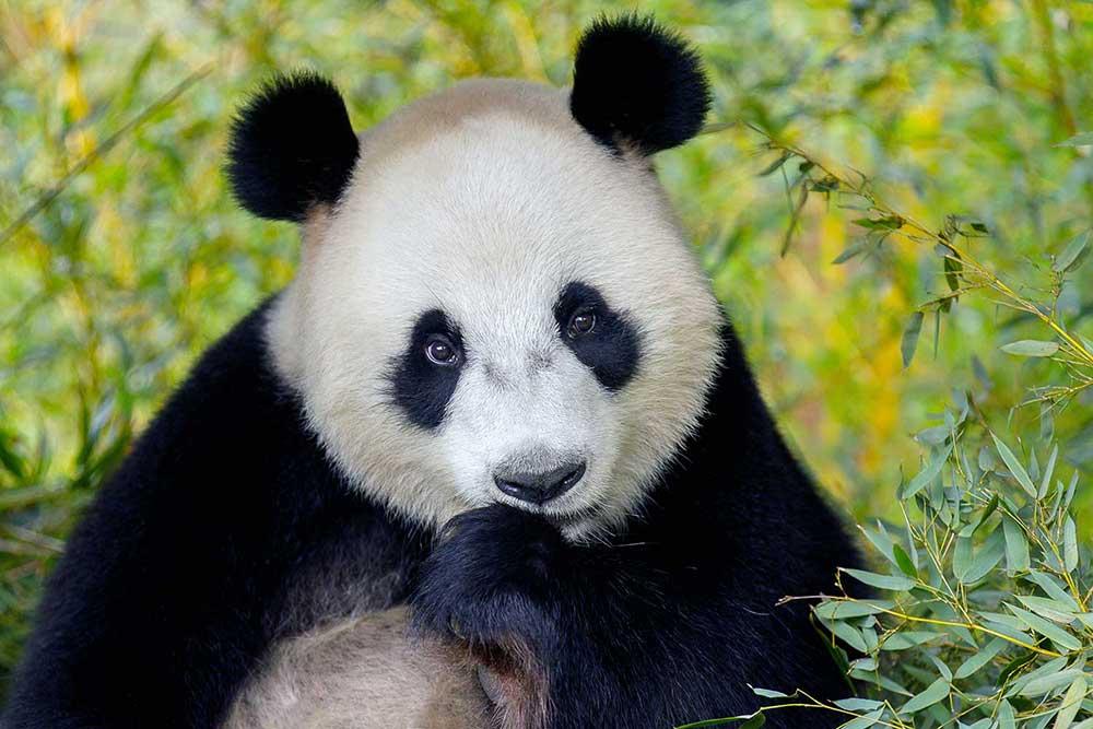 pandasia Ouwehands Zoo giant pandas wu wen