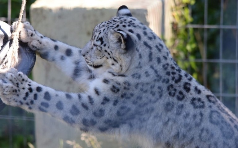 Snow leopard. Welsh Mountain Zoo. Enclosure. Silk Road. China.