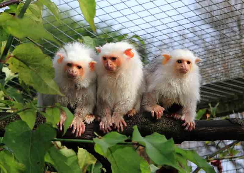 silveries monkeys on branch