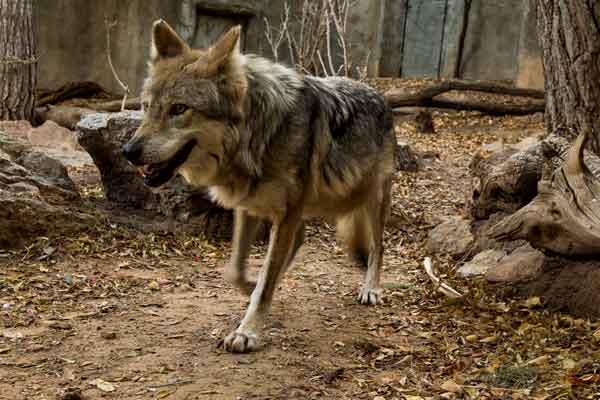 Mexican Wolf at the El Paso Zoo's Chihuahuan Desert Exhibit designed by PGAV Destinations