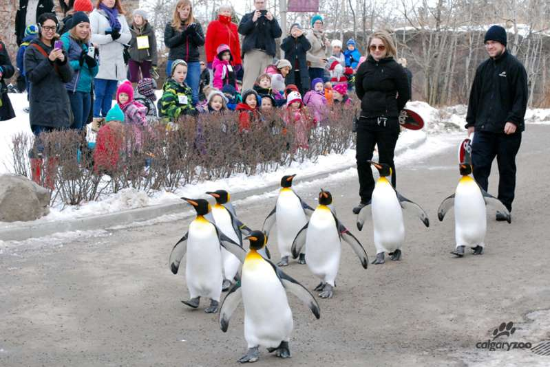 people watch calbary zoo staff walk with a group of penguins