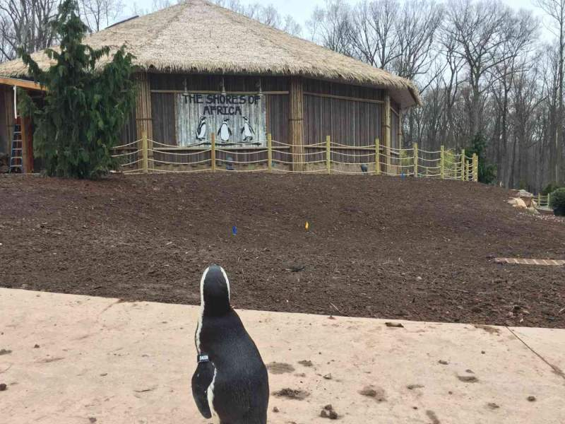 african penguin looks at shores of africa exhibit at turtle back zoo