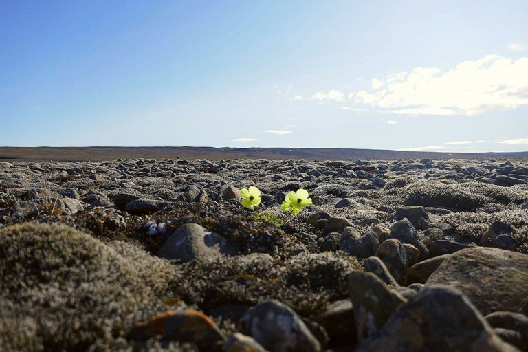 Arctic_poppy_among_rocks climate change conference environmentalism hope