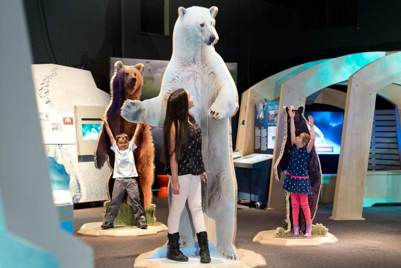 visitor measures up to polar bear arctic voices exhibit by science north