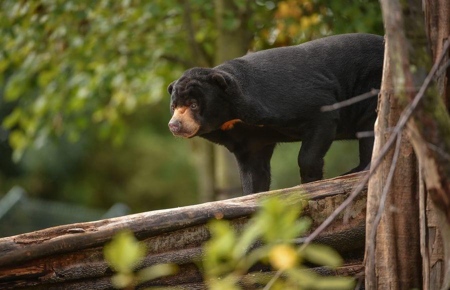 Chester Zoo, Sun Bear