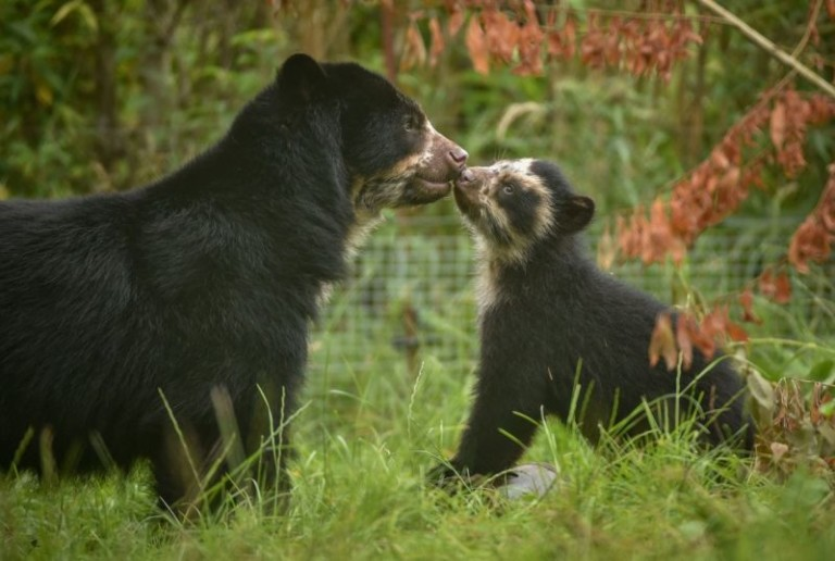 mother andean bear with cub at chester zoo.