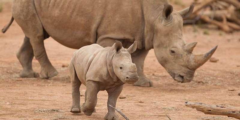 Monarto Zoo funding rhinos