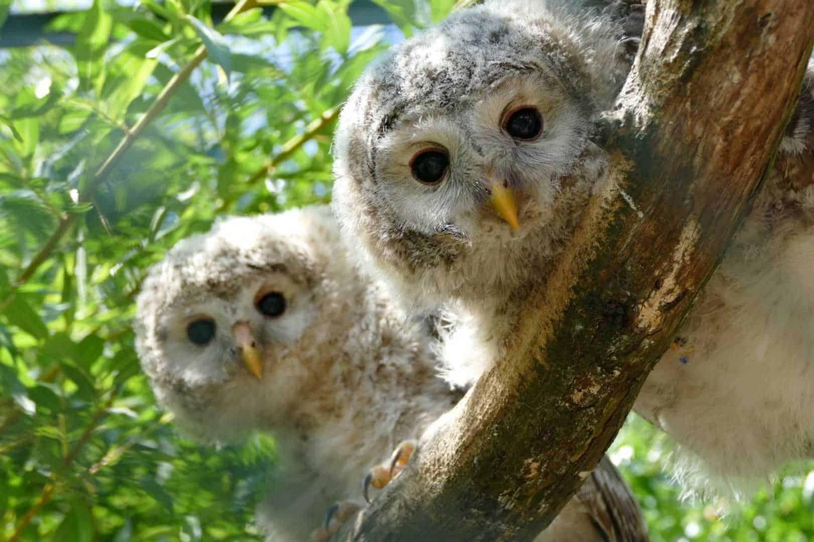 WAZA Hawk Owls on tree branch