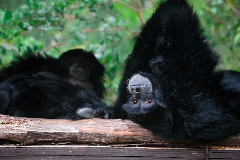 Siamang Gibbon Auckland Zoo, where a South East Asia new zoo expansion is underway