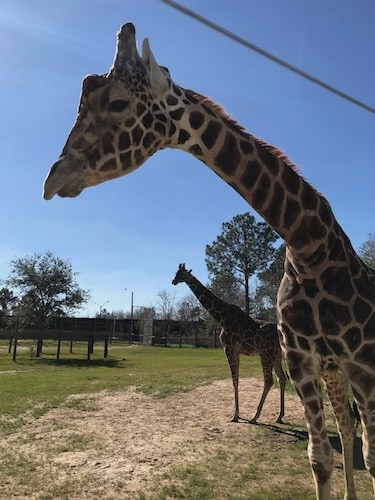 Joel Hamilton says he is looking forward to the new giraffes arriving at the zoo