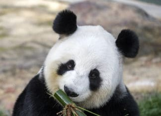 Fu Ni, a giant panda at Zoos South Australia