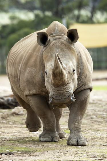 White Rhino at Zoos South Australia, one of the animals that Elaine Bensted is passionate about saving
