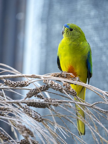 orange bellied parrot, one of the species that Elaine Bensted wants to save with zoos SA