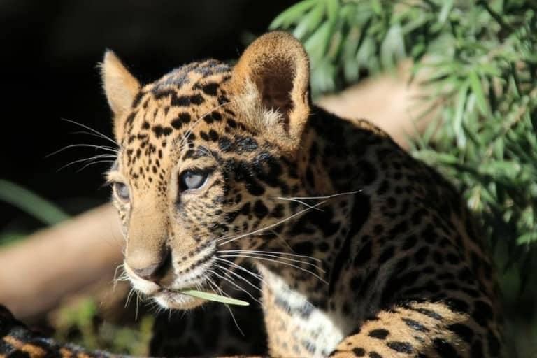 Big cats can be seen in San Antonio Zoo's new drive-thru tour, a new initiative during the COVID-19 closure