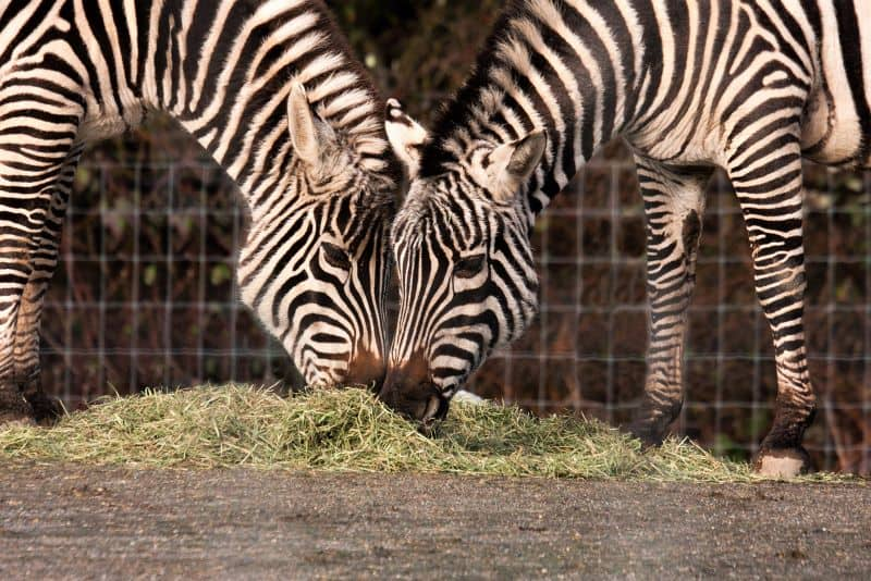 Zebras at Greater Vancouver Zoo