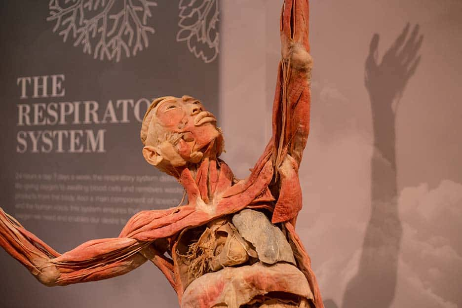 A Speciment from the Real Bodies Exhibition by Imagine Exhibitions