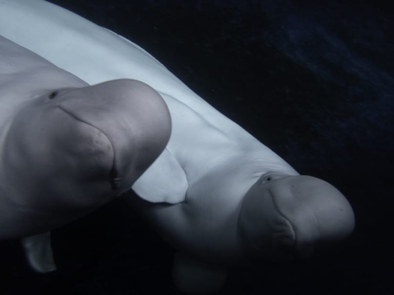 Beluga Whales Little White and Little Grey