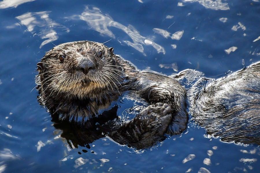 Sea Otter AZA