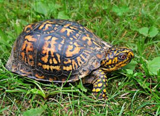 AZA highlights risk to US native turtles from trafficking