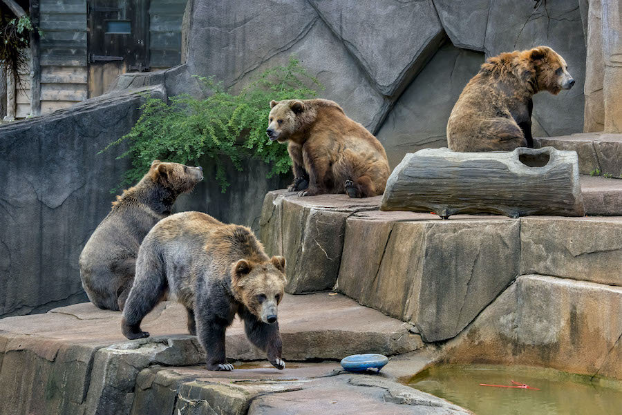 Grizzly Bears milwaukee Zoo