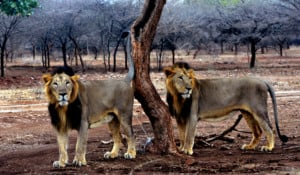 gujarat lion gir forest