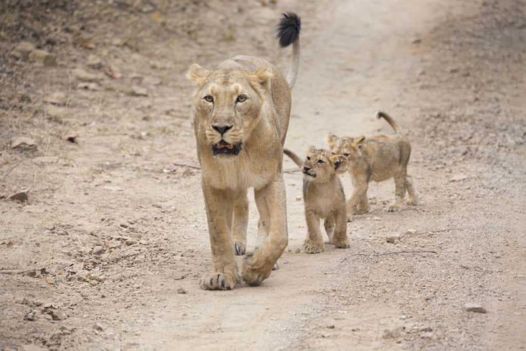 Asiatic Lion and cubs Zoological Society London