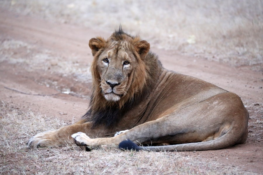 Asiatic Lion - Dominic Jermey talks to blooloop about conservation at ZSL