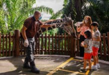 Giraffe feeding Singapore Zoo