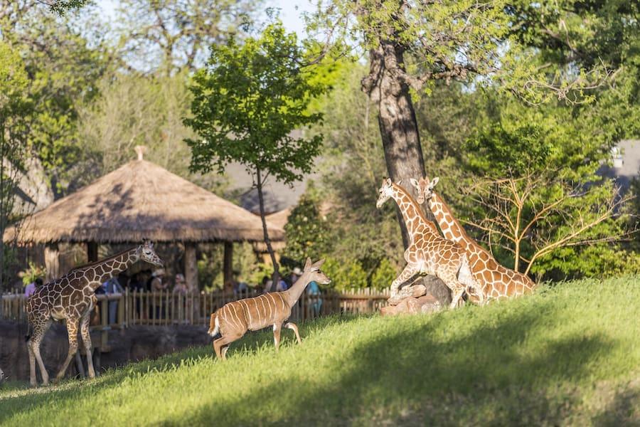 African Savanna Fort Worth Zoo