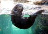 Sea Otter Monterey Bay