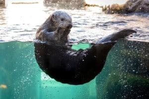 Sea Otter Monterey Bay
