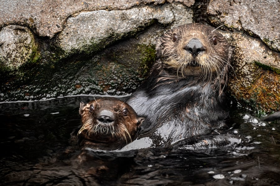 Southern sea otter surrogate mother Selka caring for rescued otter pup Monterey Bay Aquarium
