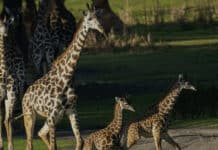 Giraffes-Disney-Animal-Kingdom