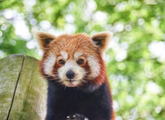 Red panda Drusillas Park
