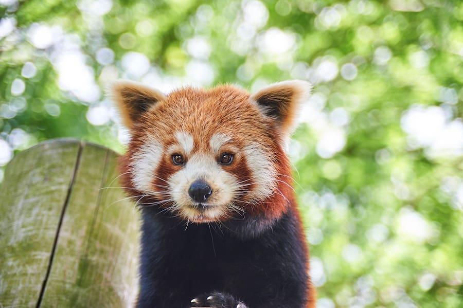 Red panda Drusillas Park