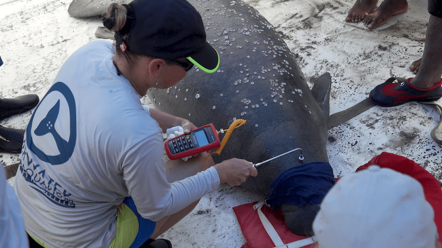 Clearwater Marine Aquarium working with Manatees in Belize